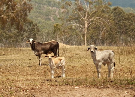 holsteine: Beef Cattle herd cow heifer and calf live stock on rural ranch