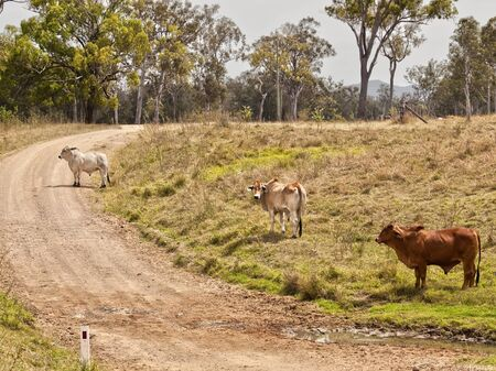 Australian rural country road scene dirt gravel road through countryside with three cows and gum trees Stock Photo - 16607246