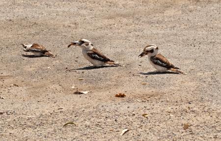 native bird: Cucaburras australiano ave nativa de alimentaci�n de la fauna silvestre en la tierra