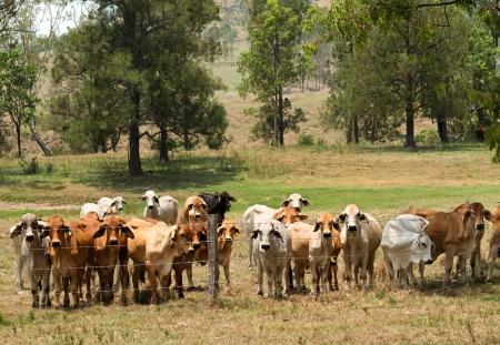 Australian rural landscape barbed wire fence restrains brahman cow herd on ranch