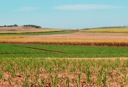 Plantation of sugarcane fields for Australian agriculture landscape under cultivation with sugar cane,  ploughed land and green new growth Stock Photo - 16944464