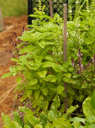 Organic gardening growing fresh healthy green sweet basil and cinnamon basil and spinach silver beet photo