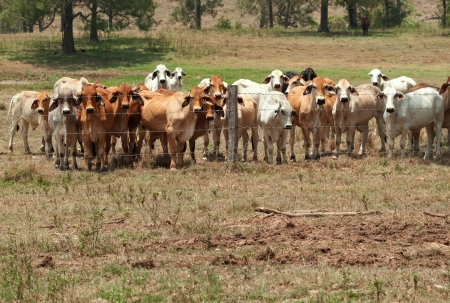 Australian rural landscape barbed wire fence restrains brahman cow herd on ranch with foreground copyspace Stock Photo