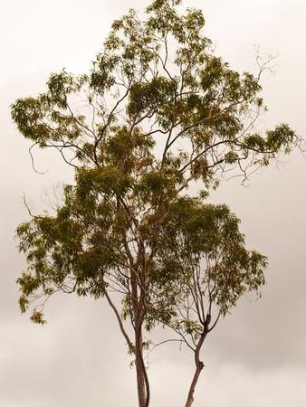 Australian Gum Tree Backdrop for background Foto de archivo