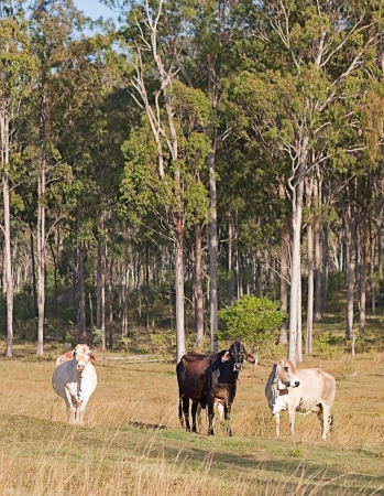 Rural Australia three cows in Australian pastoral eucalyptus gum tree forest landscape photo