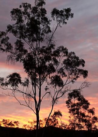 Australian eucalyptus gum tree background silhouette against sunset