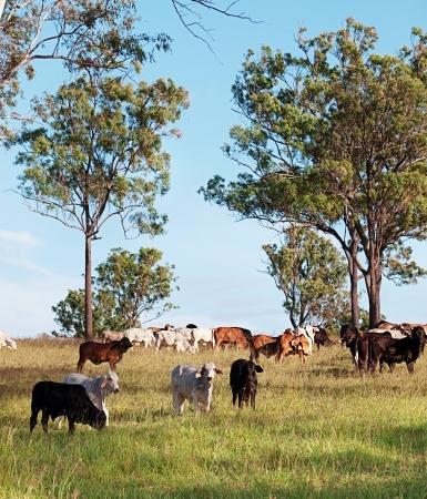 australian herd of beef cattle on australian ranch Foto de archivo