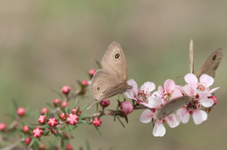 Springtime Australian Dingy Ring or Dusky Knight Ypthima arctous butterfly on native wildflower leptospernum pink cascade flowers in spring