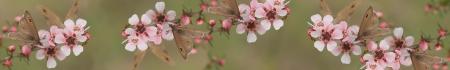 leptospernum flowers Reklamní fotografie - 21966687