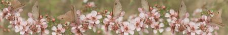 스마트 폰과 호주의 살아있는 자연 야생 나비와 leptospernum 꽃과 태블릿 호주 파노라마 호주를 배너