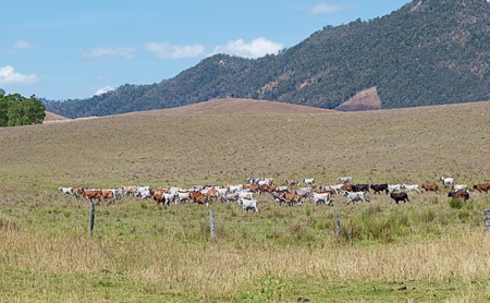 australian beef cow: Australian beef cattle and cows cross ranch farmland in Australia for agricultural landscape