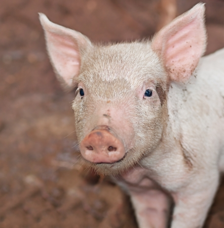 One young pig with big ears and snout on farm portrait