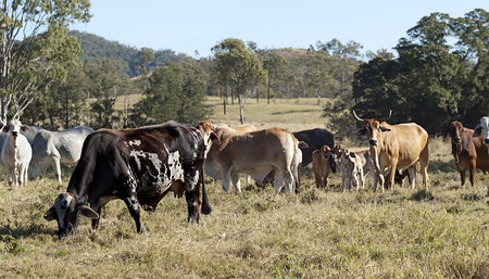 brahman: Australian herd of cattle on rural land