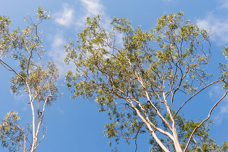 Australian Gum Trees Eucalyptus Citriodora or spotted gum, branches and gum leaf foliage against blue sky