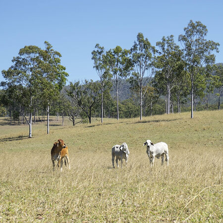 australian beef cow: Australian Country Scene - Beef Cattle Country with 3 three cows and tall gum trees blue sky and green grass