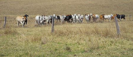 Barb wire fences restrain cows in a paddock in rural Australia photo