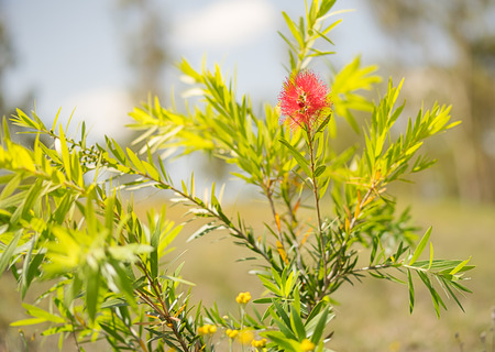 first australians: First spring bloom of the red Australian wildflower, Callistemon Captain Cook, a small shrub commonly called bottlebrush Stock Photo