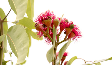 cluster of deep red flowers of Eucalyptus ptychocarpa an Australian red flowering bloodwood with large gum leaves Isolated on white background Foto de archivo