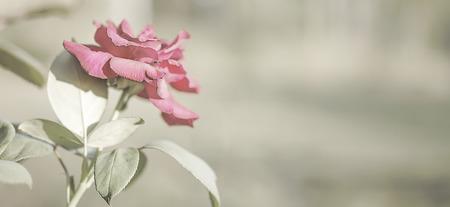 luto: Rosa rosa flores de fondo con fondo neutro copia-espacio adecuado para el dolor, entierro, luto, condolencia o tarjeta de saludo simpatía Foto de archivo