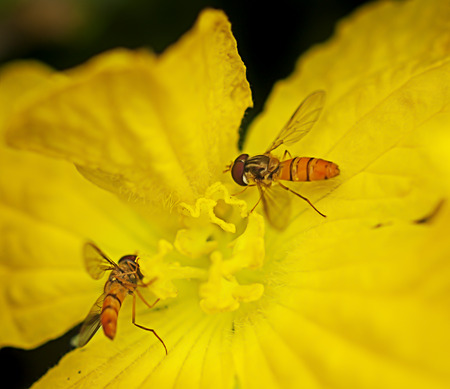 syrphidae: Hoverflies or flower flies collect pollen or nectar from yellow flower