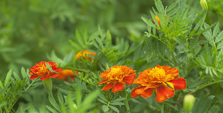 companion: Spring background, fresh marigold flowers live growing in an organic garden as beneficial companion plants Stock Photo