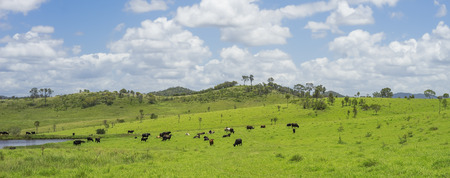 australian beef cow: Australian Agriculture Beef Cattle Farming in Queensland with lush green pasture after good rain