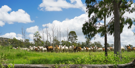 australian beef cow: Australian Rural landscape panorama with herd of Beef Cattle in Queensland with lush green pasture after good rain