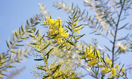 Australian wattle background, Winter and spring yellow wildflowers, Acacia fimbriata commonly known as the Fringed Wattle or Brisbane Golden Wattle