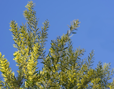 wattle: Iconic Australian Spring Wildflower Golden Wattle Acacia fimbriata against clear blue sky