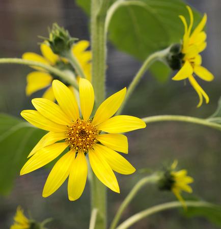 bounty: girasoles de oro brillantes, flores amarillas felices que crecen en el jardín, símbolo de abundancia, la cosecha, el suministro, la vitalidad, la energía, la longevidad y la curación y también representan tercer 3er aniversario Foto de archivo