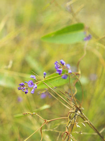 twining: Floral background with purple flower of Australia native Sarsaparilla,winter wildflower Hardenbergia violacea