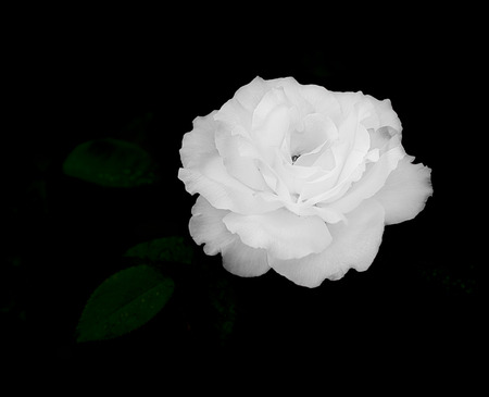 Close up of white rose flower on dark, almost black, background for sympathy card, mourning, condolences or sadness template
