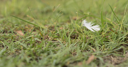 downy: White Downy Feather Blowing in Wind over green grass background