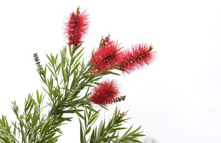 Australian native Bottlebrush, natural Callistemon flowers with green foliage Stock Photo