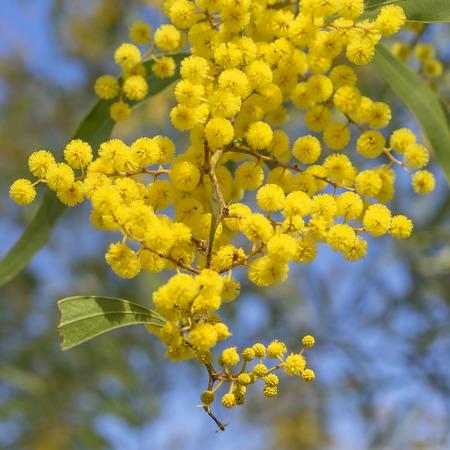 호주 아이콘 골든 와틀 봄에 피는 꽃을 닫습니다.