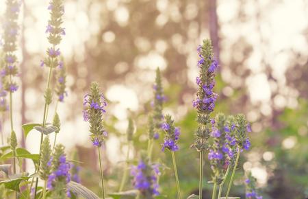 보라색 꽃 꽃과 Chia, 건강한 유기농 허브 Salvia의 녹색 단풍