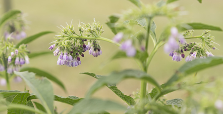 Purple blue comfrey or comphrey flowers with leaves  in panoramic view Stock Photo