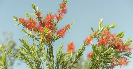 Red flowers and green foliage of Callistemon Bottlebrush, a native wildflower of Australia, against clear blue sky