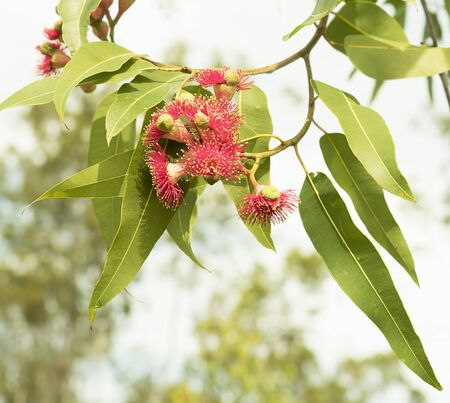 Red wildflowers of Australian eucalyptus gumtree with green gum leaves close up