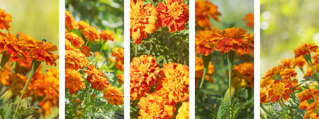 Panoramic set of marigold flowers banner for flora nature background