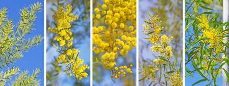 Panoramic banner background of Australian golden wattle Acacia against blue sky