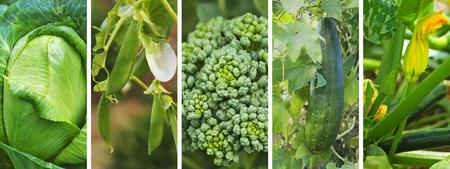 Panoramic banner of fresh healthy organic green vegetables growing in backyard garden