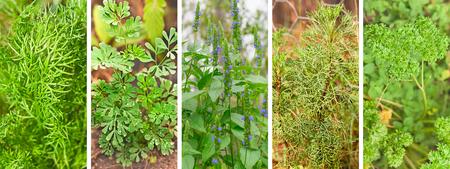 ajenjo: Panorámica pancarta con conjunto de hierbas saludables orgánicas verdes que crecen en un jardín Foto de archivo