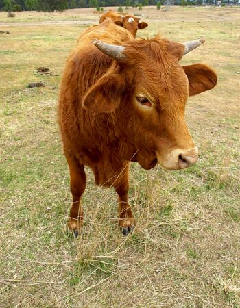 Brown cow with horns closeup Stock Photo
