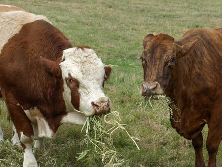 Beef cattle, hereford bull and brown cow eating hay