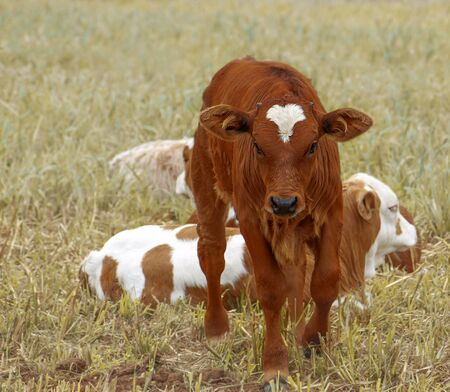Brown calf, baby cow with other calves in paddock
