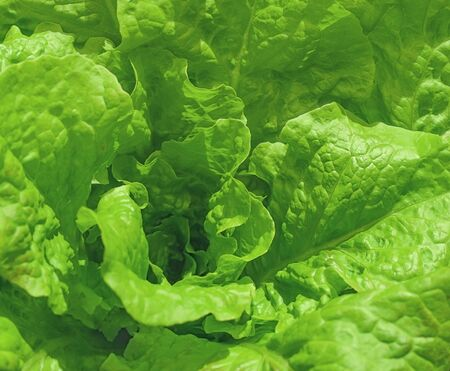 Healthy leafy green cos or Romaine lettuce background