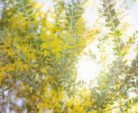 Early morning in Australia with yellow flowering Australian wattle tree in bloom  and natural sunlight streaming through