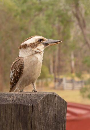 Australian kookaburra or laughing jackass closeup sitting on a post Stok Fotoğraf