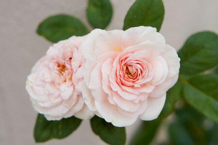 english rose: Heritage English Rose